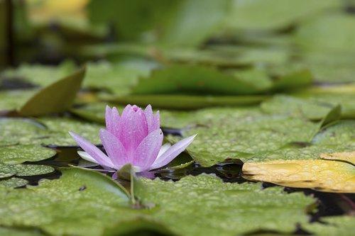nymphaea alba  lotus  aquatic plants