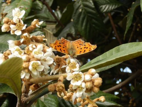 nymphalidae kitateha butterfly