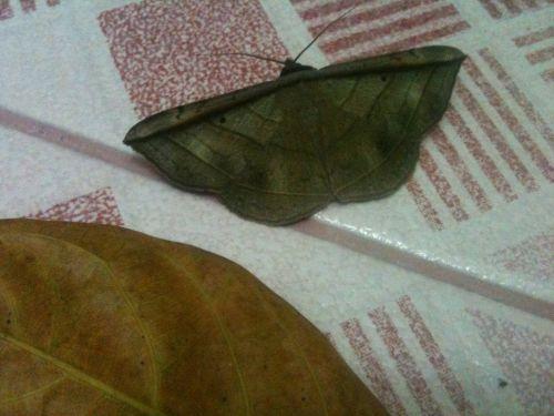 Nymphalidae, Rohana Parisatis