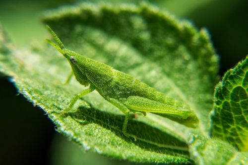 nimfos,žiogas,gamta,vabzdžiai,makro,makrofotografija,biologija,evoliucija,entomologija