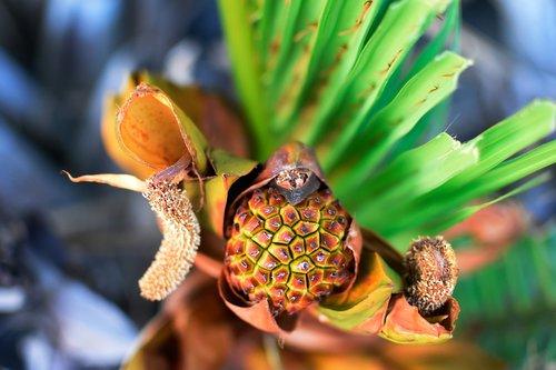 nypa  brown  palm