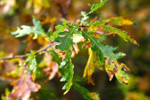 oak leaves sunny