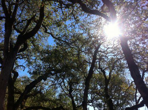 oak oak tree nature