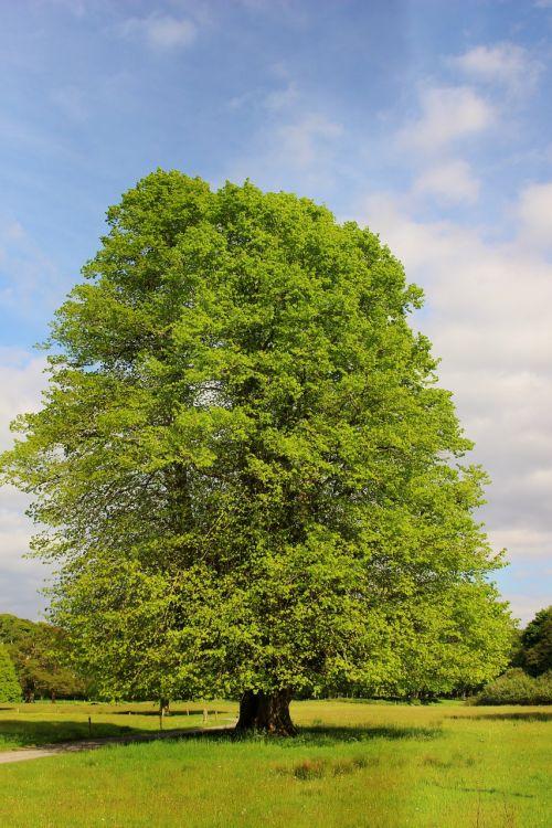 oak nature old oak