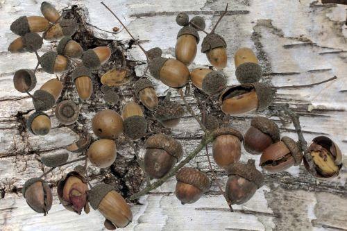 oak acorns autumn
