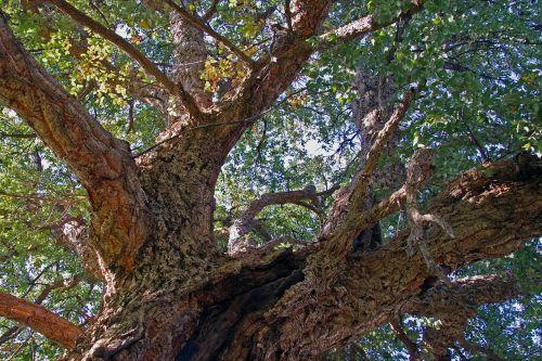 oak cork quercus suber