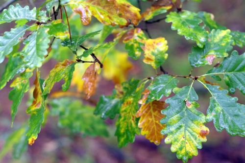 oak foliage yellow