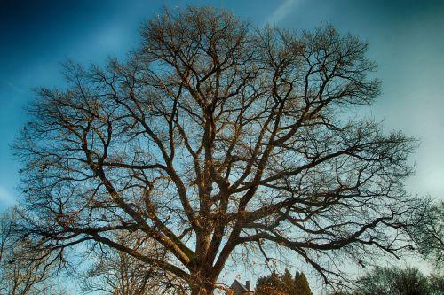 oak tree old oak