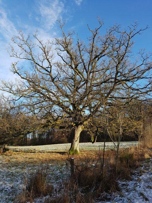 oak wood oak tree
