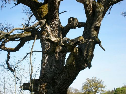 oak oak tree gnarled