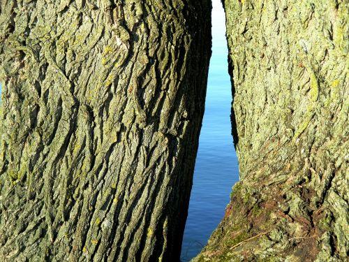 oak tree tribe