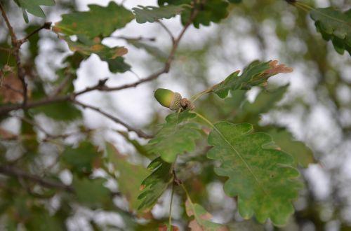 oak tree acorn