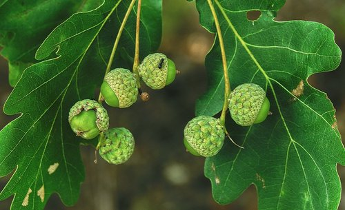 oak  acorns  ant