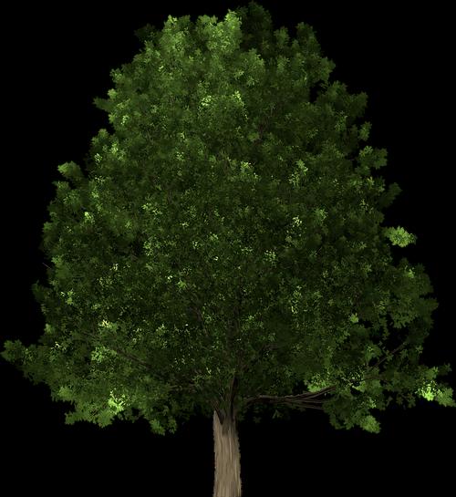 oak  oak tree  tree
