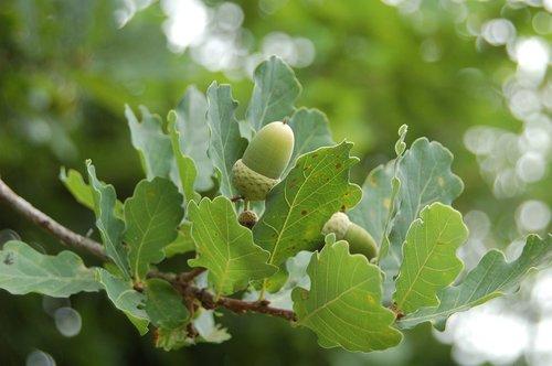 oak  acorn  nature