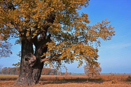 oak  tree  deciduous tree