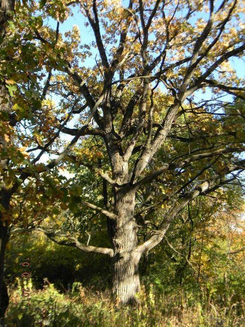 oak tree trees