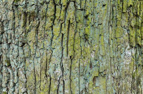 oak old tree the bark of the tree