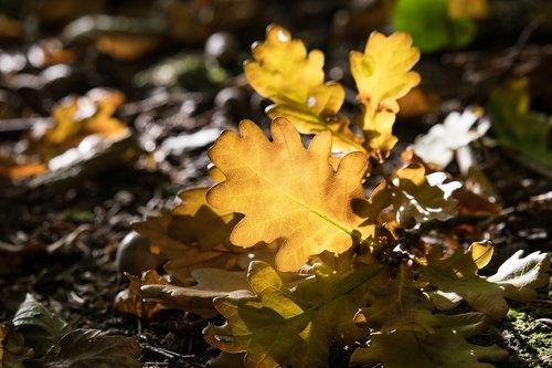 oak leaf  autumn  fall foliage