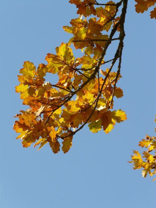 oak leaves oak quercus