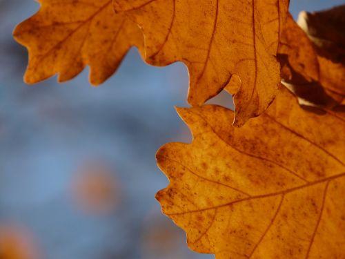 oak leaves oak quercus