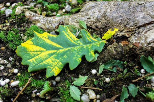oak leaves colorful leaf autumn color