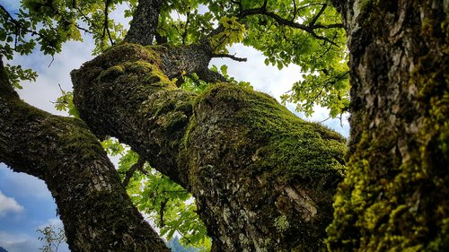 oak tree  nature  bosnia and herzegovina