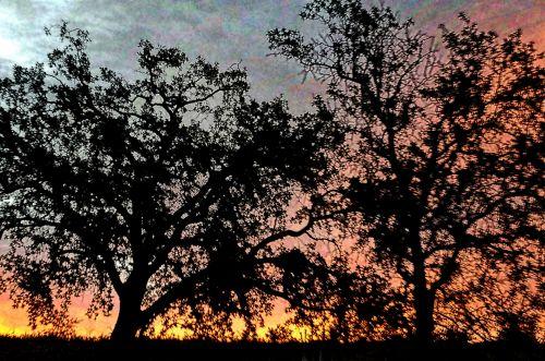 Oak Trees In Sunrise