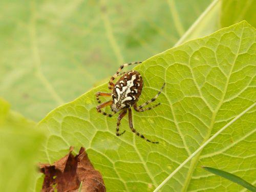 oakleaf orb weavers oakleaf kreuzspinne spider