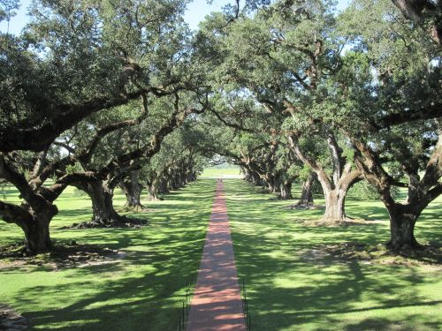 oaks oak trees alley