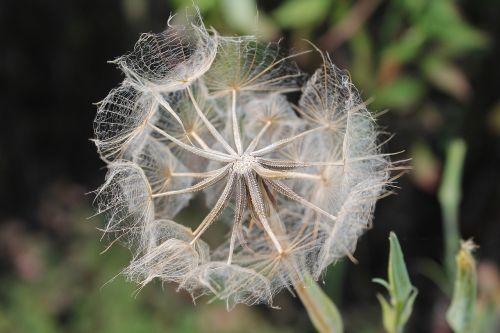 oat root tragopogon porrifolius wild flower