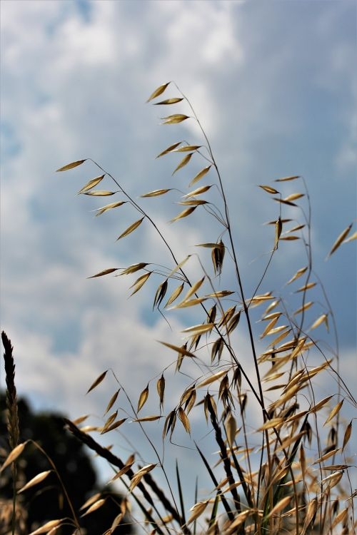 oats agriculture cereals