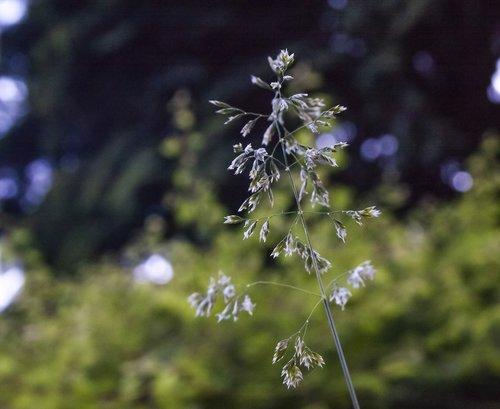 oats  meadow  garden