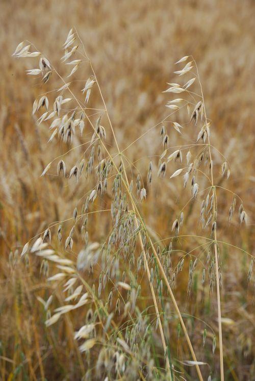 oats avena sativa grain