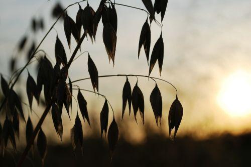 oats the sun west