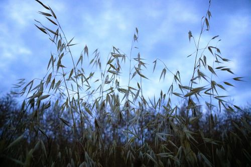 oats field cereal sky