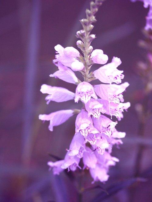obedient flower  purple flower  false dragonhead