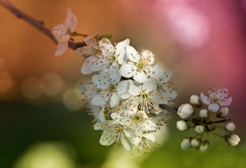 obstblueten flowers spring