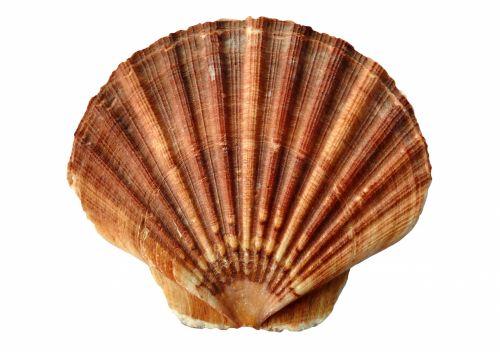 Ocean Clam Shell