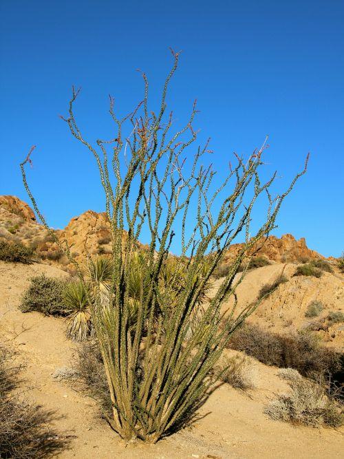 ocotillo,fouquieria splendens,dykumos koralai,kolektyvas,Jacobo darbuotojai,Jakobas kaktusas,vynuogių kaktusas,Joshua medžio nacionalinis parkas