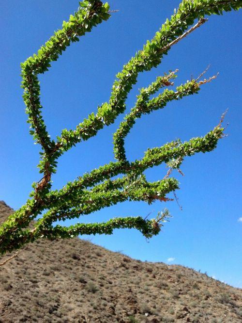 ocotillo desert southwest