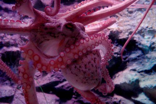 octopus tentacles suckers