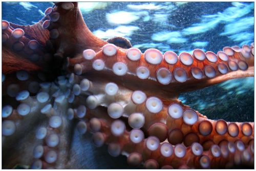 octopus suction cup suction cups