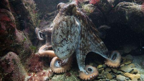 octopus kraken octopus vulgaris