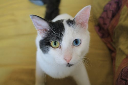 odd-eyed cat black