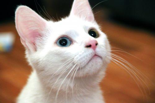 Odd-Eyed Kitten