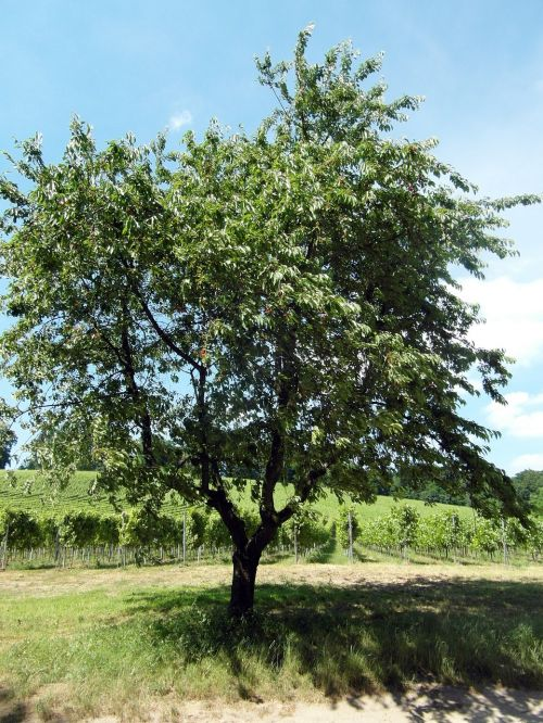 odenwald cherry fruit