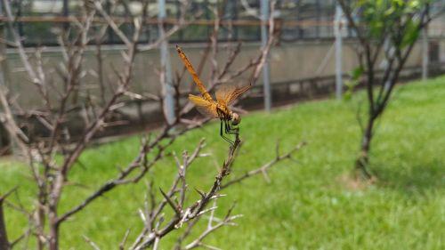 odonata non-fin suborder dragonfly section