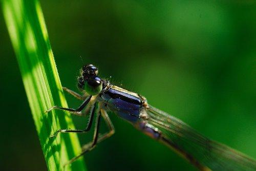 odonata  coenagrionidae  running needless to