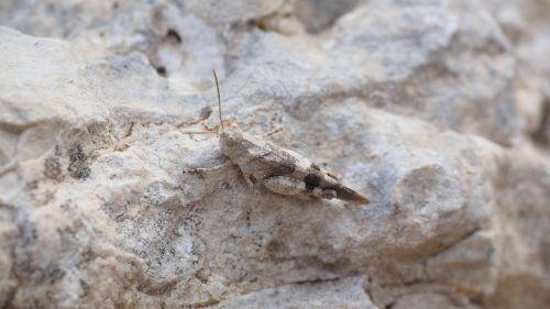 oedipoda caerulescens grasshopper insect
